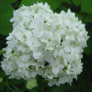 Hydrangea arborescens 'Annabelle' 2