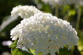 "Hydrangea macrophylla ""Snowball"" – Boerenhortensia"