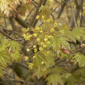"""""""bol"""" Acer platanoides 'Globosum' ???? aan de Maurits Noestraat. Jong blad en bloemen"""