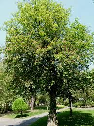 Aesculus carnea 'Briotii' – Rode kastanje 2