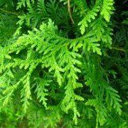 Thuja occidentalis 'Brabant' met kluit