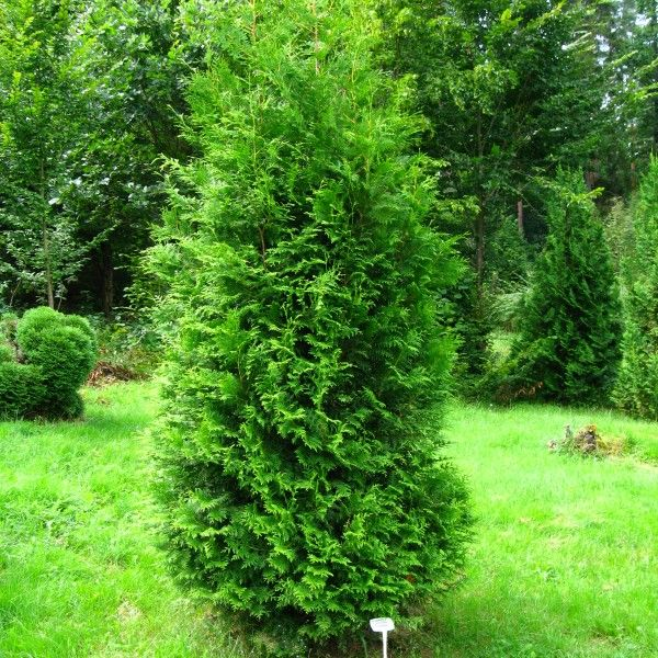 Thuja occidentalis 'Brabant' met kluit 2