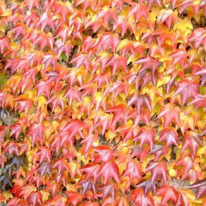 Parthenocissus tr. 'Veitchii' – Wilde Wingerd