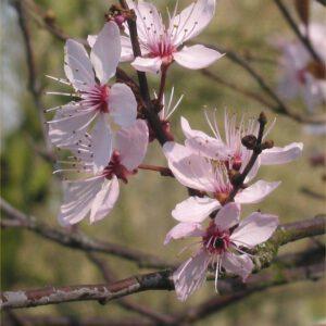 Prunus cerasifera 'Nigra' 2