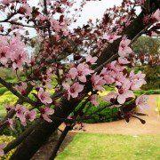 Prunus cerasifera 'Nigra' 3