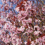 Prunus cerasifera 'Nigra' 4