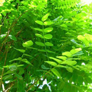 Robinia pseudoacacia 'Umbraculifera' – Echte Bol-Acacia