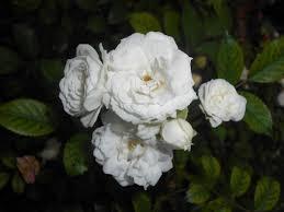 Rosa 'Alba Meidiland' 2