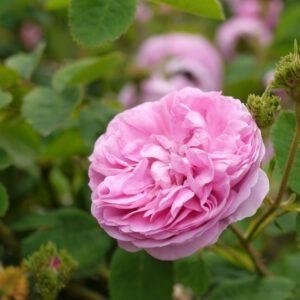 Rosa 'Chapeau'