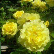 Rosa 'Friesa' 2