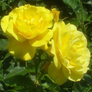 Rosa 'Friesa'