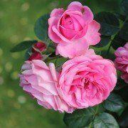 Rosa 'Leonarda da Vinci' 3