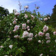 Rosa 'New Dawn' – roze klimroos 2