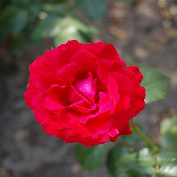 Rosa 'Nina Weibull' 2