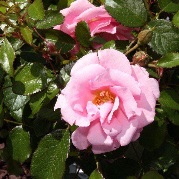 Rosa 'Pink Blanket'