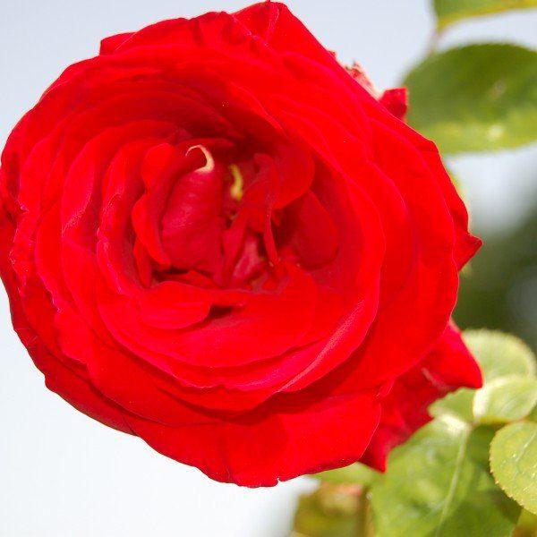 Rosa 'Santana' – Rode klimroos