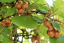 Actinidia chinensis 'Jenny' (Zelfbestuivende kiwi)