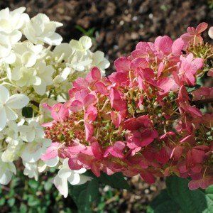 Hydrangea paniculata 'Pinky Winky' 2