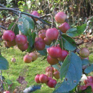 Malus 'Red Sentinel' (Rode sierappel) 2