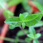 Aloysia triphylla – Citroenverbena