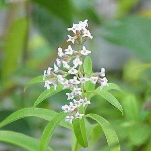 Aloysia triphylla – Citroenverbena 2