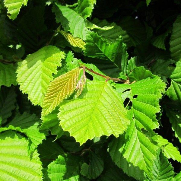 Carpinus betulus – Haabeuk in pot