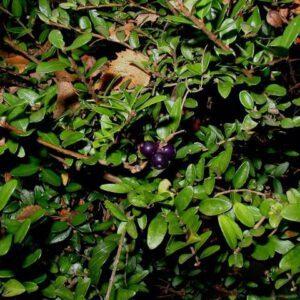 Lonicera nitida 'Magruïn' (Struikkamperfoelie)