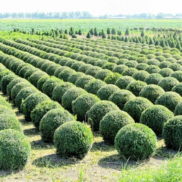 Buxus bollen in pot