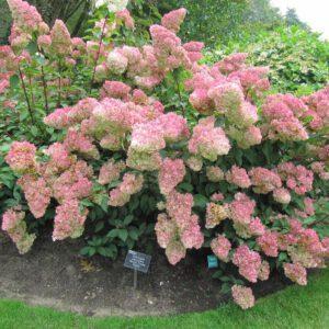 Hydrangea paniculata 'Vanille Fraise' 2