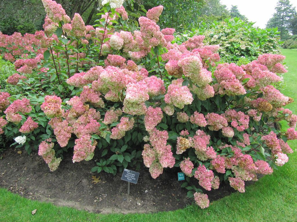 bestel hydrangea paniculata 39 vanille fraise 39 voordelig bij plantenweelde. Black Bedroom Furniture Sets. Home Design Ideas