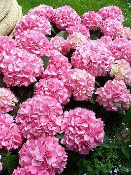 """Hydrangea macrophylla """"Gertrud Glahn"""" - Boerenhortensia"""