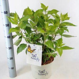 Hydrangea paniculata 'Butterfly' Vlinderhortensia