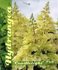 Hydrangea paniculata 'Candlelight'