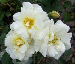 Rosa 'Ivory Meidiland'