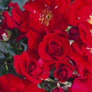 Rosa 'Charma'