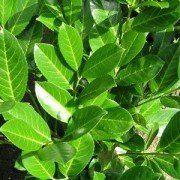 Prunus laurocerasus 'Rotundifolia' – Laurier, 100/125 cm met kluit 1