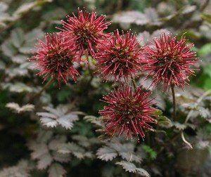 Acaena microphylla 'Kupferteppich'