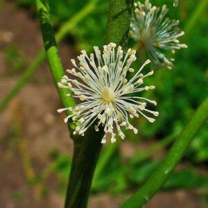 Actaea racemosa 2