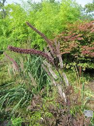 Actaea simplex 'Pink Spike'