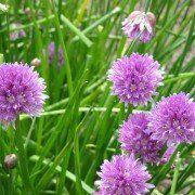 Allium schoenoprasum – Bieslook
