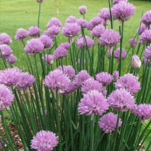 Allium schoenoprasum – Bieslook 2