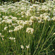 Allium tuberosum 2