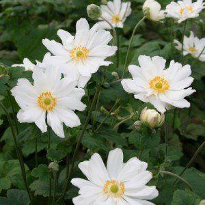 Anemone hupehensis 'Wihrlwind'