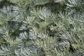 Artemisia lactiflora 'Powis Castle'