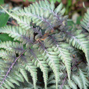 Athyrium niponicum – Regenboogvaren 2