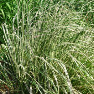 Calamagrostis 'Overdam' 2