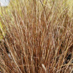 Carex buchannii 2