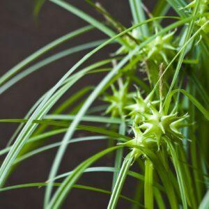 Carex grayi 2