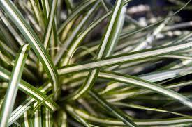 Carex oshimensis 'Evergold' 2