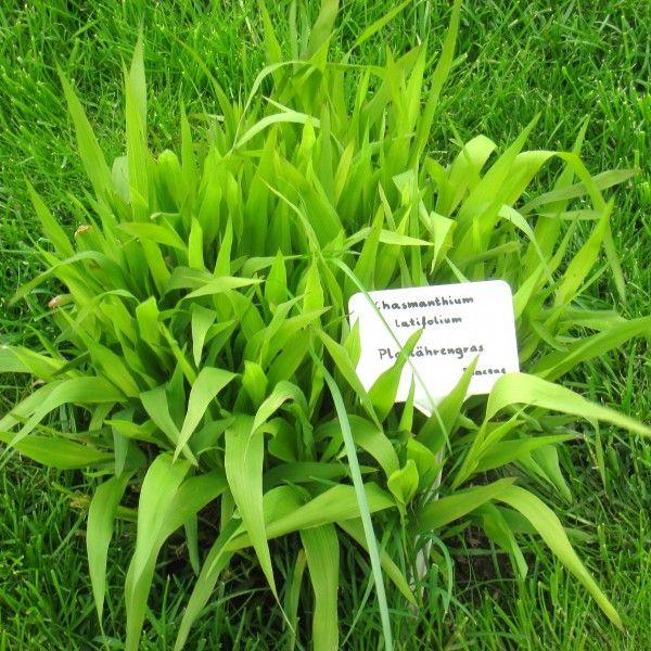 Chasmanthium latifolium 2